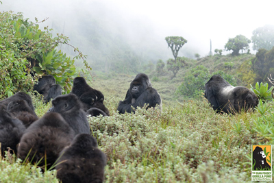 Grauer's Mountain gorillas in Congo